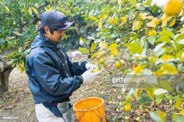 農場のスモール ビジネス所有者彼の柑橘類のファームで摘みレモン