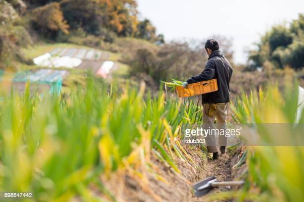 a small business farmer harvesting vegetables on his organic farm - agricultural activity stock pictures, royalty-free photos & images