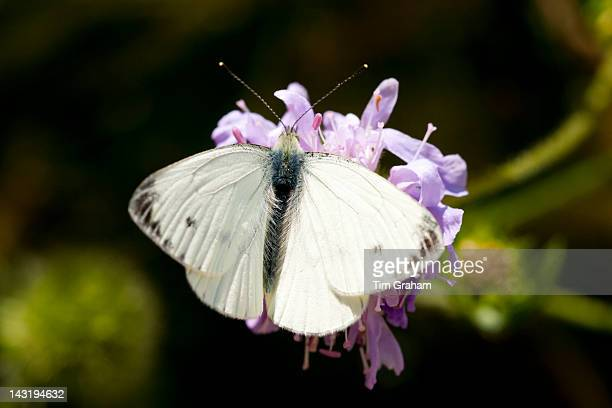 Small Cabbage White Butterfly Pieris brassicae gathering nectar from garden flower UK