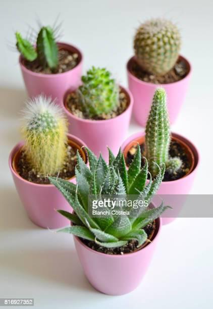 small cactus in bloom, close-up - plante grasse photos et images de collection