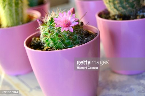 Small cactus in bloom closeup stock photo getty images keywords mightylinksfo Images