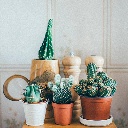 Small Cactus Plants in a Pot 636082954