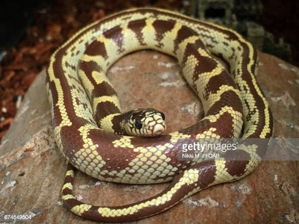small california kingsnake - kingsnake stock photos and pictures