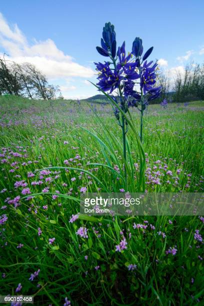 small camus annd wild geranium - don smith stock pictures, royalty-free photos & images