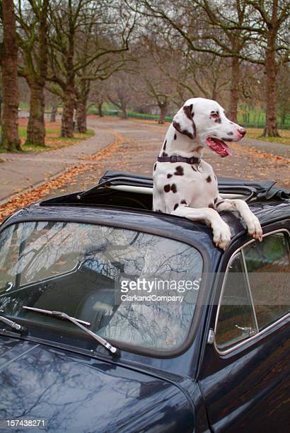 small car big dog pampered pet - the hobbit: an unexpected journey stock pictures, royalty-free photos & images
