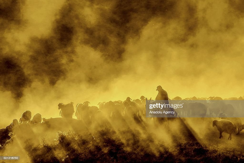 Small cattles, brought by shepherds for milking to Kiyiduzu village, travel among the dust through the tablelands of Mount Nemrut during sunset in the Tatvan district of Bitlis, Turkey on July 10, 2015.