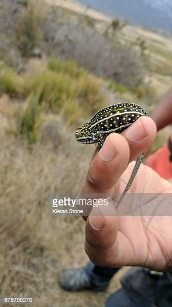 Small Chameleon