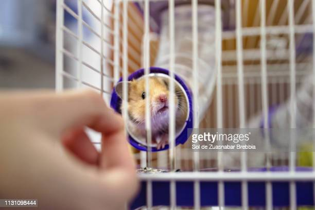 Small charming Syrian hamster peeking out of a tube while a hand offers him food