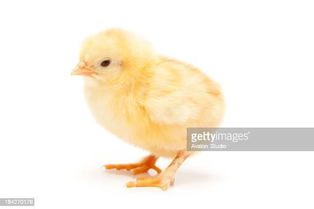 Piccolo pollo