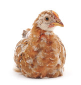 http://www.istockphoto.com/photo/small-chicken-gm863752814-143224975