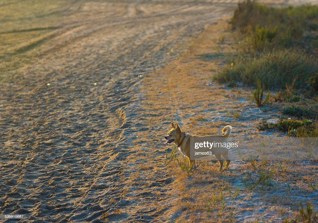 Pequena chihuahua a caminhar na praia : Foto de stock