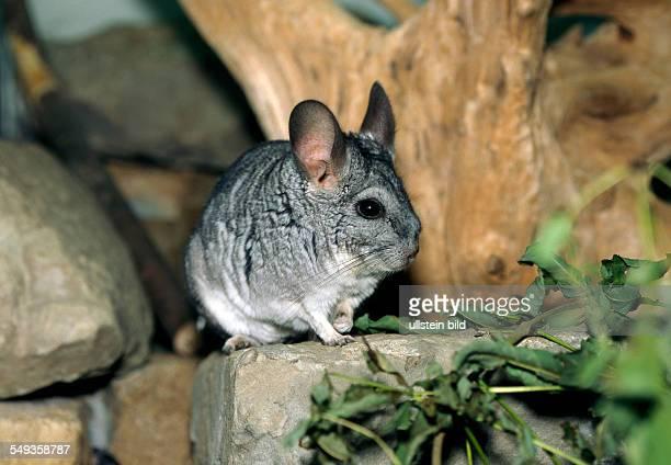 Small Chincilla in his enclosure longtailed chinchilla