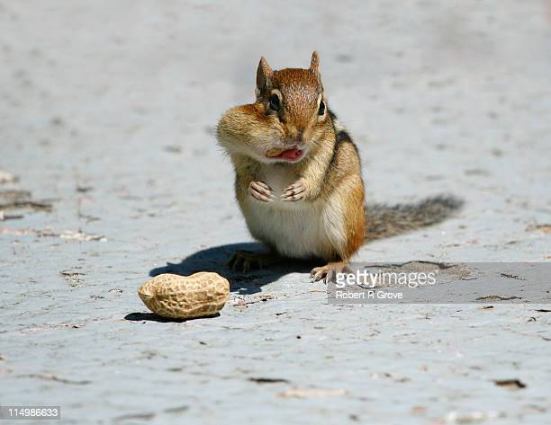 Small chipmunk eating groundnut