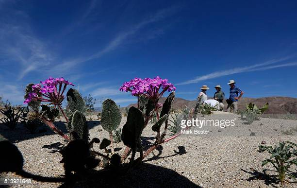 A small cluster of desert sand verbena hug the desert floor in AnzaBorrego Desert State Park where a small dedicated group of botanists and flower...