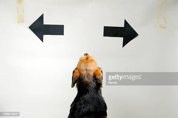 Small, confused dog looking up at two arrows in opposite