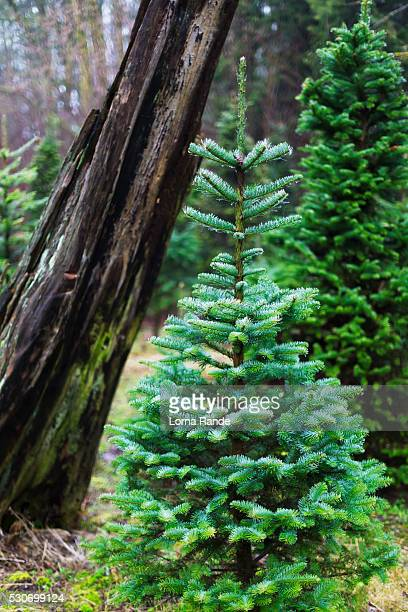 A small coniferous tree and leaning tree trunk in the background; Langley, British Columbia, Canada