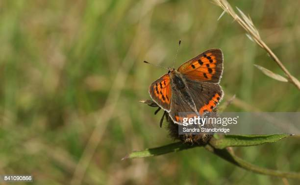 a small copper butterfly (lycaena phlaeas) perched on a plant. - hertford hertfordshire stockfoto's en -beelden