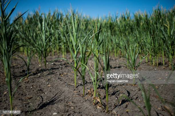 Small corn plants are pictured on August 01 2018 in Diehsa Germany Farmers complain harvest losses because of the dry weather over the last weeks
