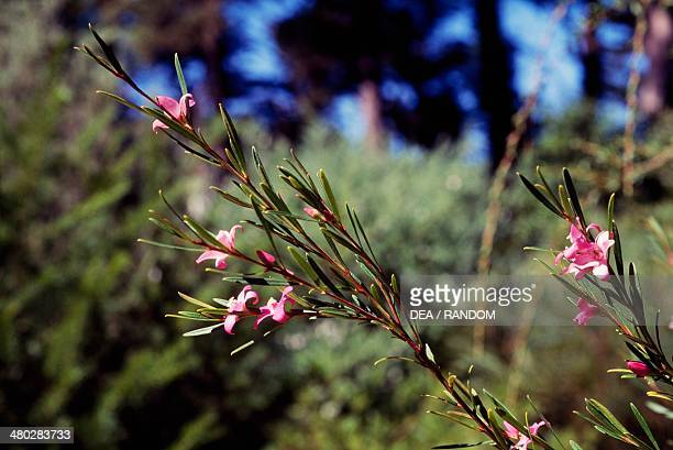 Small Crowea or Waxflower , Rutaceae.