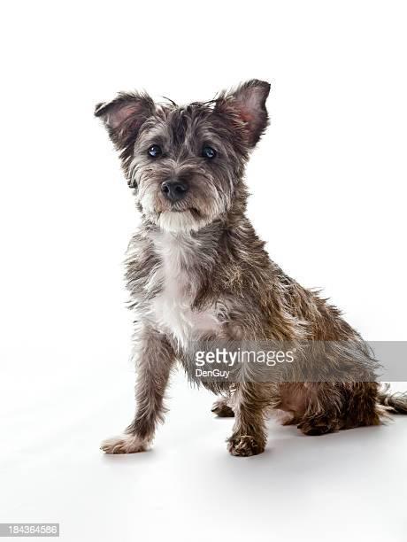 Small Cute Mixed Breed Dog Looks at Camera
