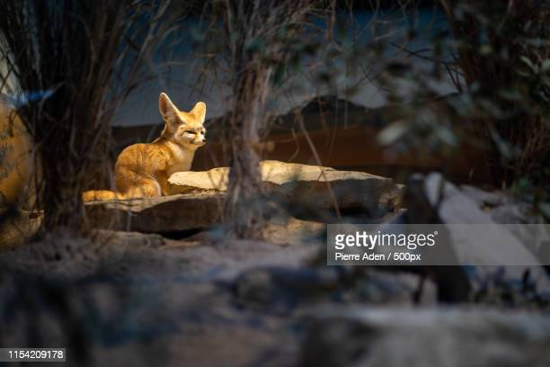 a small desert fox in frankfurt zoo - fuchspfote stock-fotos und bilder