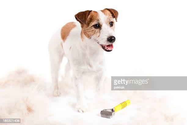 Petit chien après ses cheveux est dessiné sur un arrière-plan blanc