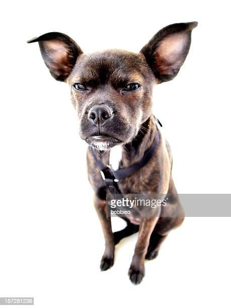 Small dog angry