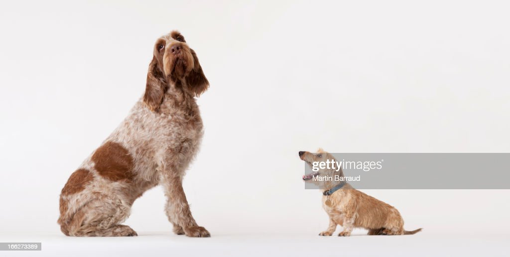 Small dog barking at bigger dog : Bildbanksbilder