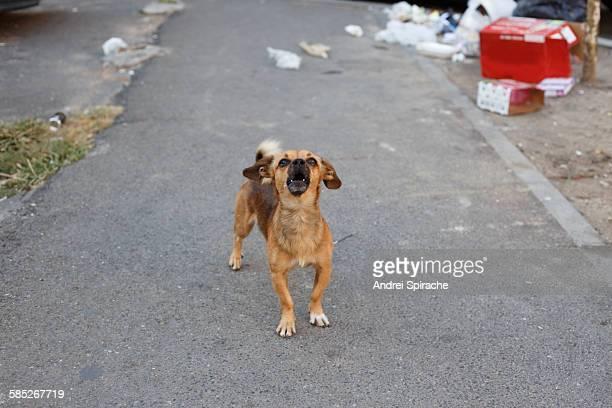 Small dog barking on the street