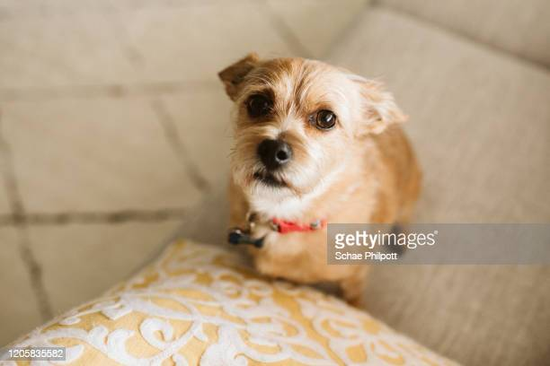 a small dog begging for food - suplicar imagens e fotografias de stock
