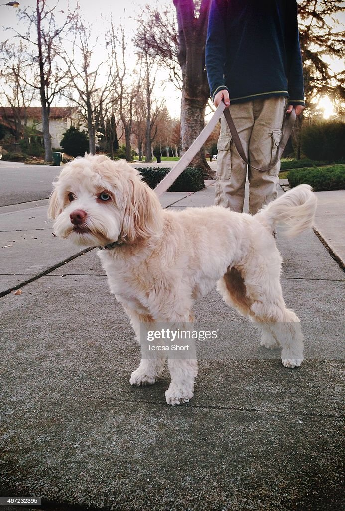 Small dog being walked on leash down neighborhood sidewalk