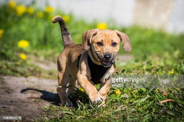 small dog - first steps in the meadow - pomorskie province stock photos and pictures