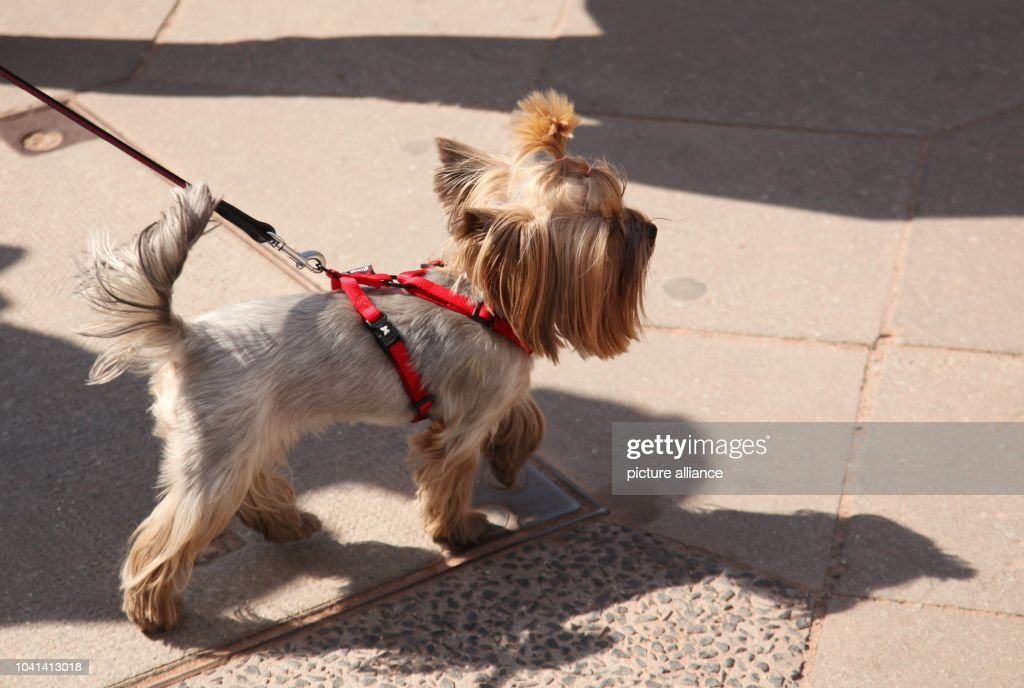 Small Dog Has A Funny Haircut During A Warm Spring Walk In Berlin