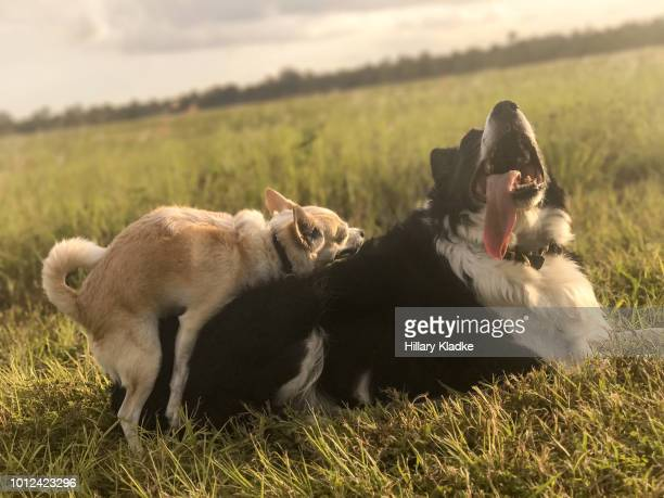 small dog humping larger dog - erectie stockfoto's en -beelden
