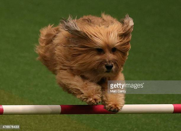 A small dog jumps over a fence in the Rescue Dog Agility show in the main arena on the first day of Crufts dog show at the NEC on March 6 2014 in...