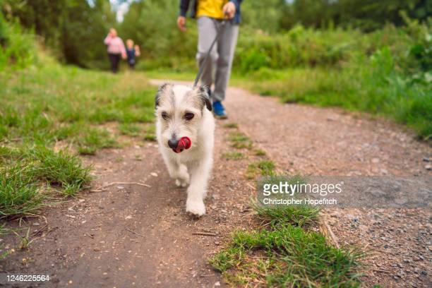 small dog leading the way on a walk in a park - boys stock pictures, royalty-free photos & images
