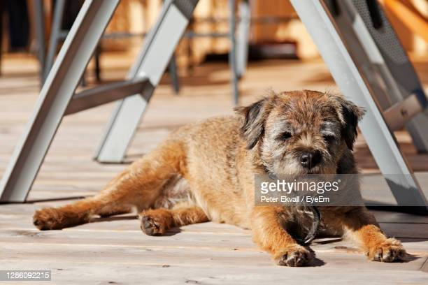 a small dog lying and lazing in the sun - norfolk terrier photos et images de collection