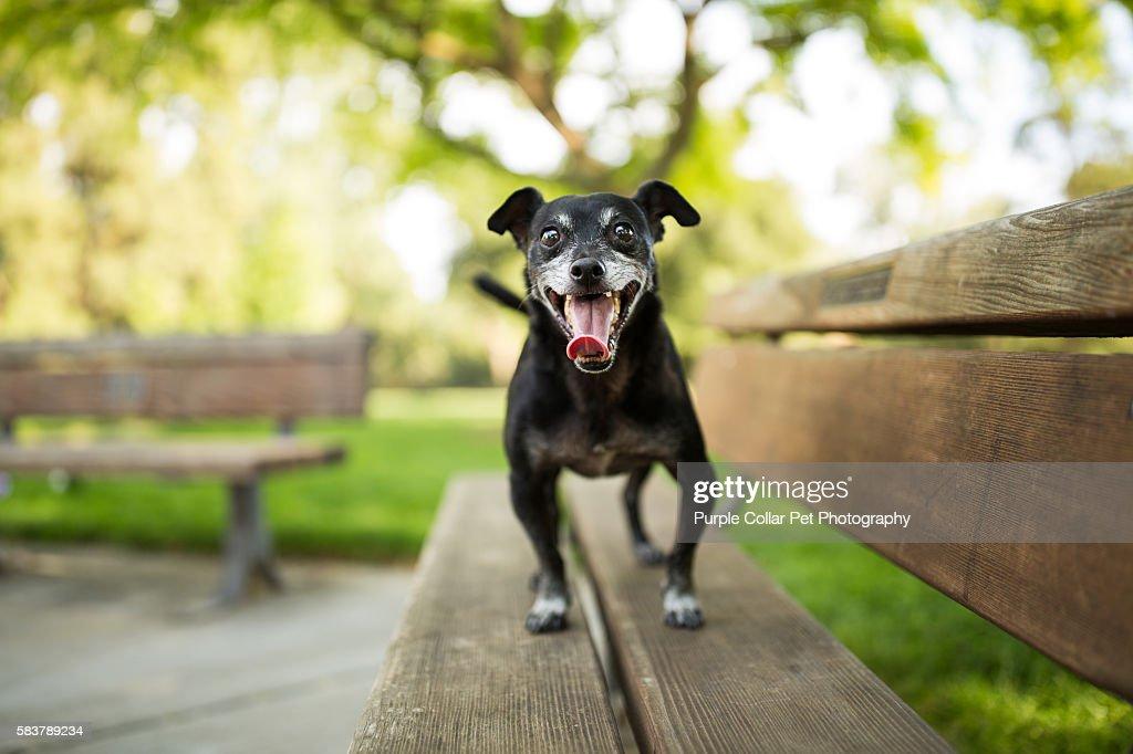 Awe Inspiring Small Dog On Bench Outdoors High Res Stock Photo Getty Images Frankydiablos Diy Chair Ideas Frankydiabloscom