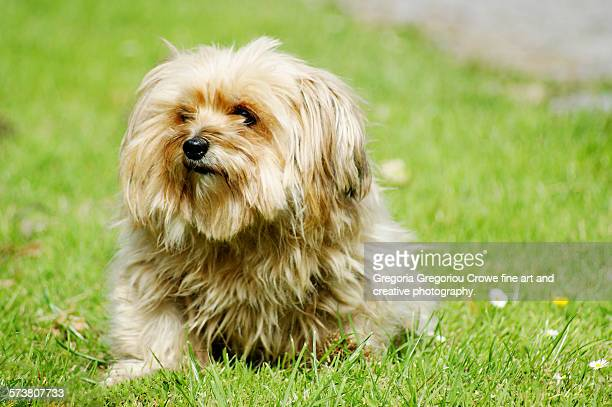 small dog - gregoria gregoriou crowe fine art and creative photography ストックフォトと画像