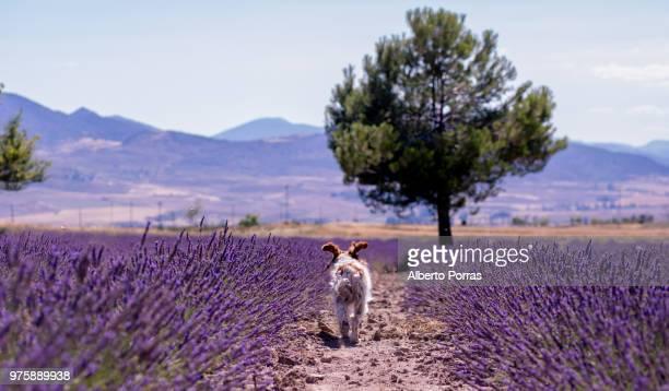 Small dog walking across lavender field, Moratalla, Murcia, Spain