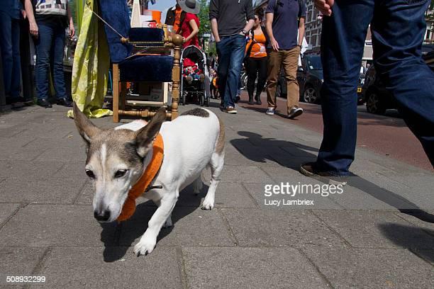 small dog walking on the side walk - オランダ 王の日 ストックフォトと画像