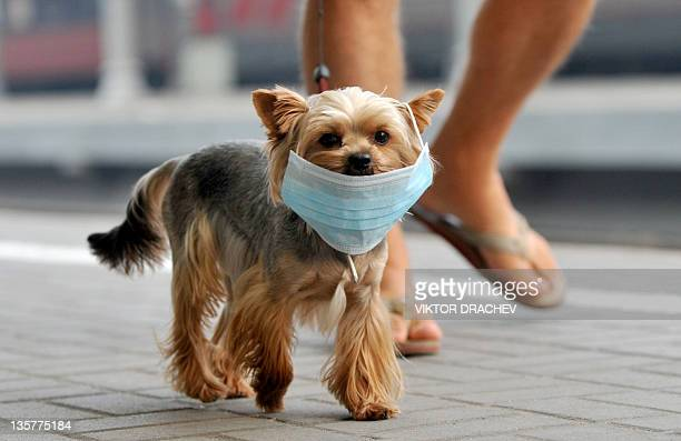 A small dog wears a face mask for protection against forest fire smoke in Moscow on August 10 2010 The daily mortality rate in Moscow has doubled and...