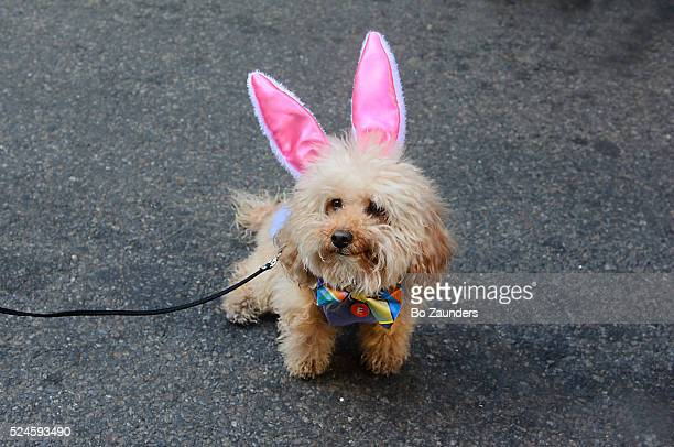 small dog with pink ears at the nyc easter parade. - dog easter stock pictures, royalty-free photos & images