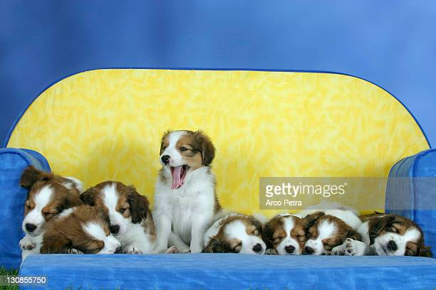 Small Dutch Waterfowl Dogs, puppies, 7 weeks Kooikerhondje