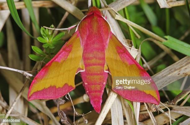 Small Elephant Hawk-moth [Deilephila porcellus]