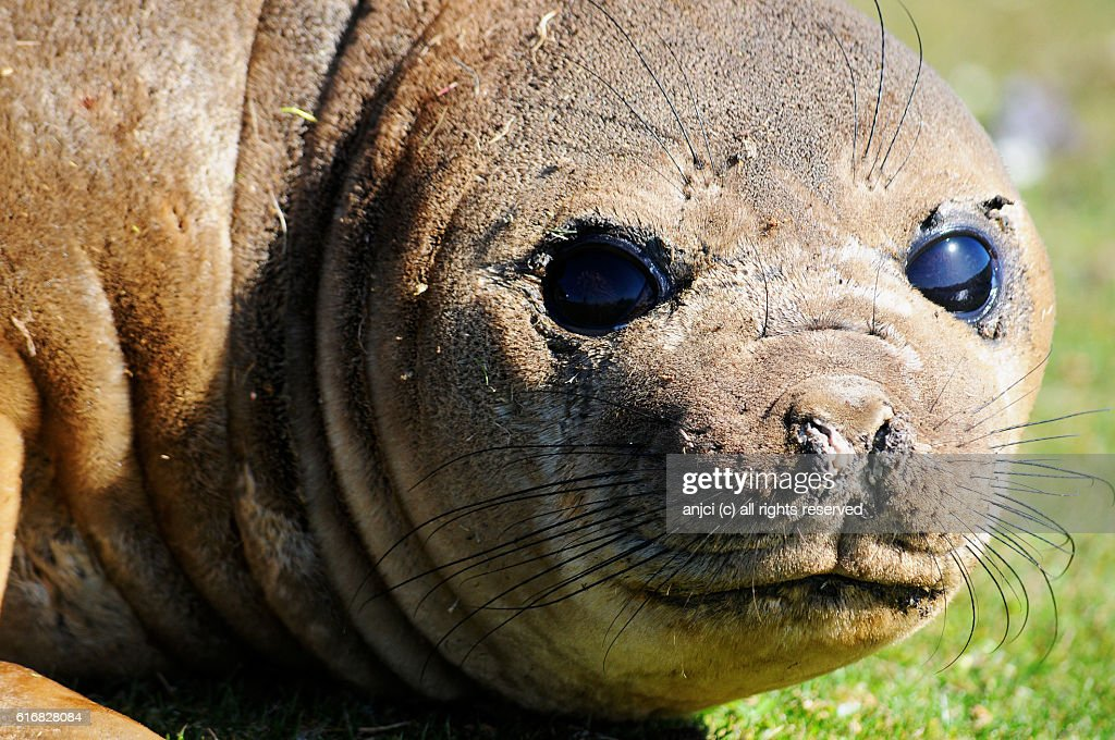 Small elephant seal, Bartie's Brook, Pebble Island / Falkland Islands : Stock Photo