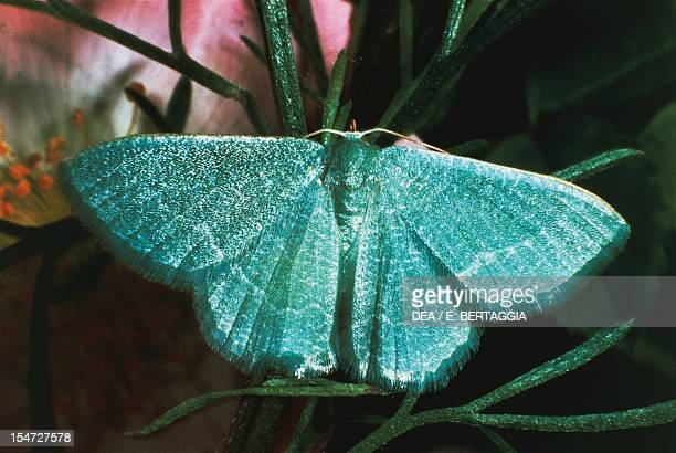 Small emerald Geometridae