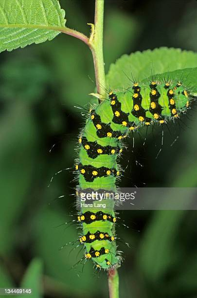 Small Emperor Moth (Saturnia pavonia), adult caterpillar feeding on a blackthorn leaf