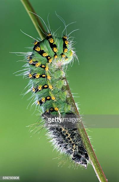 Small Emperor Moth caterpillar sloughing skin France