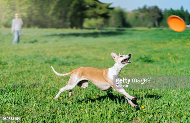 Small English Greyhound Is Chasing to Flying Disk
